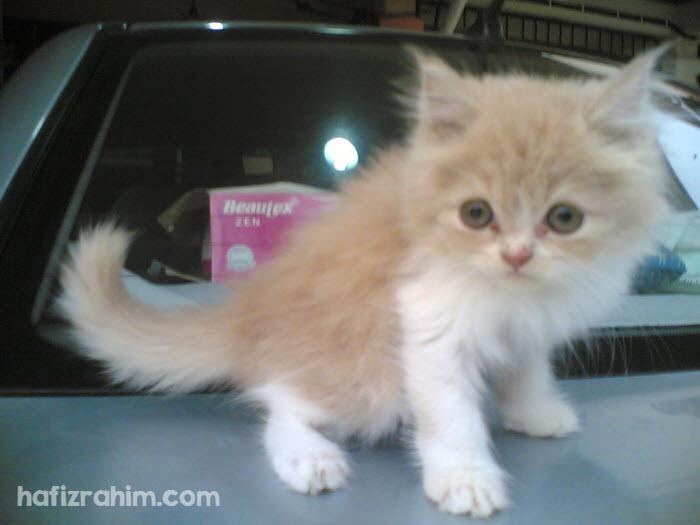 Bi-color persian cat