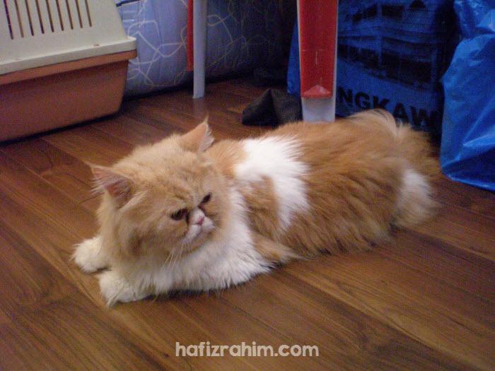 Garfiel Persian Cat