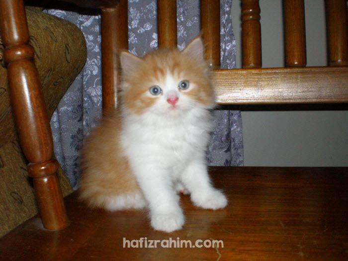 Kucing parsi comel
